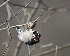 Downy Woodpecker - Picoides pubescens (Dave Boltz) Tags: birds virginia outdoors nature wildlife canon7dmarkii whitehouselanding pagecounty downywoodpecker picoidespubescens woodpecker downy