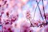 ILCE-7M2-02305-20180209-1702 // Canon FD 135mm 1:2 (Otattemita) Tags: 135mmf2 135mmf20 canonfd canonfd135mmf2 canonfdn canonnewfd canonnfd florafauna fauna flora flower nature plant wildlife canonfd135mm12 sonyilce7m2 ilce7m2 sony cnaturalbnatural 135mm