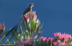 Cape Sugarbird [Kapsockerfågel] (Promerops cafer) (Hans Olofsson) Tags: africa bird capesugarbird promeropscafer protea sugarbird sydafrika uganda kapsockerfågel westerncape