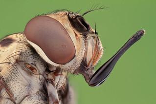 Studio macro: House fly