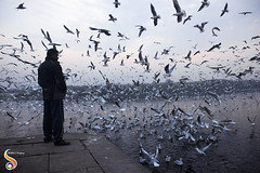 Gulls Naal Gallan (Talks with the birds) (Shikher Singh) Tags: gulls seagulls birds yamuna ghat river morning man winter dawn bystander flying soaring bank shikher'simagery