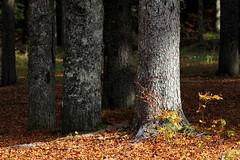 Futuro (lincerosso) Tags: foresta forest tronco peccio piceaabies abeterosso faggio fagussylvatica colonne ambienteforestale tarvisio fusine valromana aurunno bellezza armonia futuro