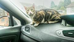 * 17 Febbraio Festa dei Gatti / International Cats Day / Gigi from London * (argia world 1) Tags: gatto cat gigi animaledomestico pet auto car londra london festadeigatti catsday 17febbraio saariysqualitypictures