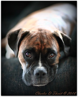 Boxer on Sofa