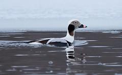 Long-tailed Duck (Bob Scribner) Tags: presqueislesp eriecounty pennsylvania usa clangulahyemalis longtailedduck ducks birds wildlife animals crawford male winter