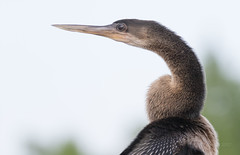 Anhinga (SDRPhoto321) Tags: art animal atlantic botanical bird birding birds blue canon colorful dof depthoffield eos expression eye elevated exposure florida feathers festival great gold haven inspiring light lands mighty new nature outdoor perspective reflection sunny sun s
