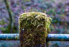 Nature on a fence post (rustyruth1959) Tags: nikon nikond5600 tamron16300mm uk england yorkshire calderdale ripponden ryburnvalley fence fencepost moss lichen mosscoveredpost plants plantlife metal post growth damp nature rust paint decay peelingpaint closeup