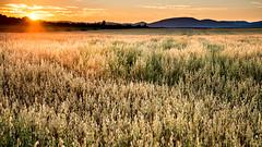 ile-287 (Tasmanian58) Tags: field barley sunset orleansisland nikon d610 rokor landscape