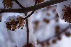 WinterSunrise2018_4 (ABritDaneYankee) Tags: oregon portland winter snow tree buds frost