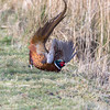 Spooked Cock Pheasant (Steve (Hooky) Waddingham) Tags: animal bird british countryside nature game photography wild wildlife
