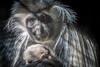 Holding Her Baby (helenehoffman) Tags: africa angolancolobus mom oldworldmonkey primate mammal baby sandiegozoo monkey arboreal conservationstatusleastconcern blackandwhite animal angolanblackandwhitecolobus