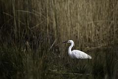 Egret in the Reeds (Rob Blight) Tags: egret wild wildlife nature britishwildlife fauna animal bird dintonpastures winnersh nikond850 d850 200500 200500mm outdoors wadingbird hunting stalking reeds reedbed