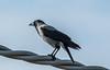 Cornacchia (G.Sartori.510) Tags: pentaxk3 hdpentaxda14xafawrc smcpentaxda300mmf4edifsdm cornacchia crow corvuscornix
