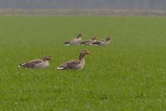 Oie cendrée  / Goose /  Graugans - Anser anser (BPBP42) Tags: oiseaux bird vogel nature