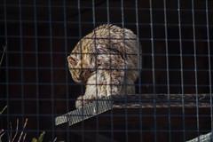 ツシマヤマネコ 画像26
