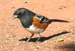 Spotted Towhee #2 (beautyinature4me) Tags: bird avian spottedtowhee sedona arizona december2016