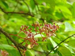 flor da carambola (Márcio100) Tags: flor carambola planta fruto natureza beleza marcio100 márcio alves
