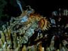 Sepia spec. (Severin Korfhage) Tags: sepia redsea dahab ocean coralreef corals night mollusk egypt sea predator sponge tintenfisch wildlife nature