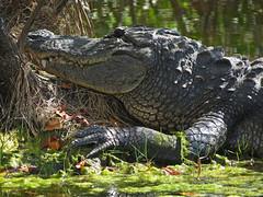 Big Gator (magarell) Tags: reptile aligator americanalligator alligatormississippiensis merrittislandnwr fl