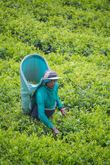 850_2468 (stephho2015) Tags: tea ceylon teaplantation srilanka