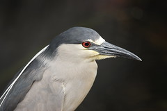1DM39299 View Large. Black-crowned Night Heron. Kaanapali Maui, Hawaii (E.W. Smit Wildlife.) Tags: ef300mmf28lis ef300mmf28lisusm ef300mmf28lis14x canonef300mmf28lis canonef300mmf28lisusm canonef300mmf28lis14x canonef300mmf28lisusm14x wildanimals wildanimal animal animals tourist tourists telephotolens unitedstatesofamerica usa outdoor outdoors bird birds ocean park parks avian lake canon nature 1dmarkiii canon1dmarkiii canoneos1dmarkiii ef300mmf28lisusm14x wildlife gitzo supertelephotolens heron blackcrownednightheron nightheron canonef14xextenderii canonef14xextender 14x canonef14x kaanapali kaanapalimaui mauihawaii maui rookery island pacificocean hawaii mauimarriottsoceanclub