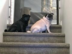 Sadie and Josie (Stefan Candie) Tags: pug pugs 2018 cute pets dogs