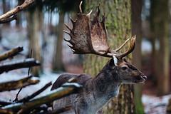 deer (marcuslange) Tags: deer wildlifepark wildlife nature naturephotography natura natur sachsen saxony deutschland germany forest vsco vscofilm