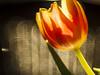 Bokeh 040318-2 (martinritter1) Tags: tulip natur bokeh blume tulpe leicavarioelmaritp22870120