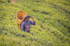 850_2521 (stephho2015) Tags: tea ceylon teaplantation srilanka