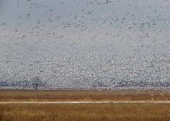 Snow Geese (Kelly Preheim) Tags: snow geese migration south dakota
