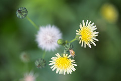 Beauty Summer (Indigo_Flow) Tags: macro cloweup nature flowers bokeh blur dandelion green warm summer season beauty