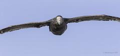 Too close to the Stinker- Giant Petrel (Chantal Jacques Photography) Tags: tooclosetothestinker giantpetrel southerngiantpetrel depthoffield bokeh wildandfree falklandislands