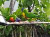 rainbow lorikeets at my place (jeaniephelan) Tags: lorikeets birds rainbowlorikeets
