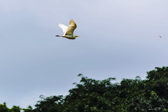 VOLO.   ----    FLIGHT (cune1) Tags: foresta forest alberi trees uccelli birds cielo sky verde green panorama landscape africa costadavorio lagunesdeassinie