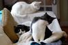 black and white cats (rootcrop54) Tags: tina female tuxedo idaho male tuxedos charlie white allwhite group buddies trio blackandwhite neko macska kedi 猫 kočka kissa γάτα köttur kucing gatto 고양이 kaķis katė katt katze katzen kot кошка mačka gatos maček kitteh chat ネコ