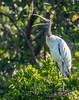 Wood Stork (Mycteria americana) (NigelJE) Tags: woodstork stork mycteriaamericana mycteria flinthead stonehead ironhead preacher gourdhead ciconiidae nigelje playalinda guerrero mexico