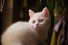 White cat (Ömer Ünlü) Tags: cat animal kitten mammal eye pet looking fur portrait whiskers white cute smalltomediumsizedcats catlikemammal sitting burmilla siamese fauna camera manx eyes domesticshorthairedcat laying one khaomanee