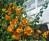 Key West (Florida) Trip 2016 0525Ri 5x6 (edgarandron - Busy!) Tags: florida keys floridakeys keywest plants flower flowers bougainvillea