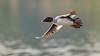 Common Goldeneye (f) (Bob Gunderson) Tags: birds bucephalaclangula california commongoldeneye divingducks ducks northerncalifornia santaclaracounty seaducks shorelinelake southbay
