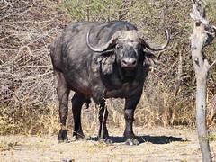 Cape Buffalo. Botswana. Aug 2015. (rowanseton) Tags: africa capebuffalo buffalo
