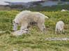 2017070612WY2_Beartooth (tulak56) Tags: wyoming beartooth mountains beartoothhighway highway hwy road mountaingoat goat