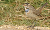 Bluethroat (Luscinia svecica) (Sandra Standbridge.) Tags: bluethroat lusciniasvecica rare bird animal wildandfree wild wildlife nature outdoor grass tonguetastic