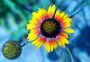 Gaillardia lost in time (Pensive glance) Tags: blanketflower gaillarde gaillardia flower fleur plant plante