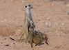 Looking for protection (jaffles) Tags: southafrica südafrika kalahari kgalagadi transfrontier park ktp olympus wildlife safari natur nature suricate meerkat
