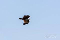 Malaysia-14636.jpg (CitizenOfSeoul) Tags: malaysia pulaulangkawi wildlife see langkawi andamanensee outdoor wildlebendetiere animal eagle adler
