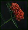 Butterfly Weed (anitabower) Tags: flowers butterflyweed floral orangeflowers wildflowers mygarden