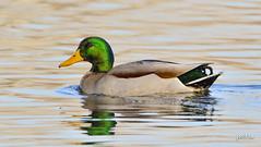 Mallard (jt893x) Tags: 150600mm anasplatyrhynchos bird d500 drake duck jt893x male mallard nikon nikond500 sigma sigma150600mmf563dgoshsms thesunshinegroup coth alittlebeauty coth5 sunrays5