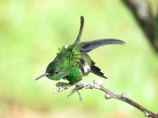Amazilia Coliazul, Amazilia Verdiazul, Steely-vented Hummingbird, Amazilia saucerottei