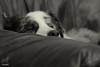 The Perfect Fit (Jasper's Human) Tags: aussie australianshepherd dog snooze sleep chair