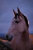 up-close wildlife (Nita Break) Tags: horse caballo fauna nature wild wildlife close up upclose cano canon canon80d sigma sig sigma35mm 35mm naturaleza animals moment sunset purple colours beauty